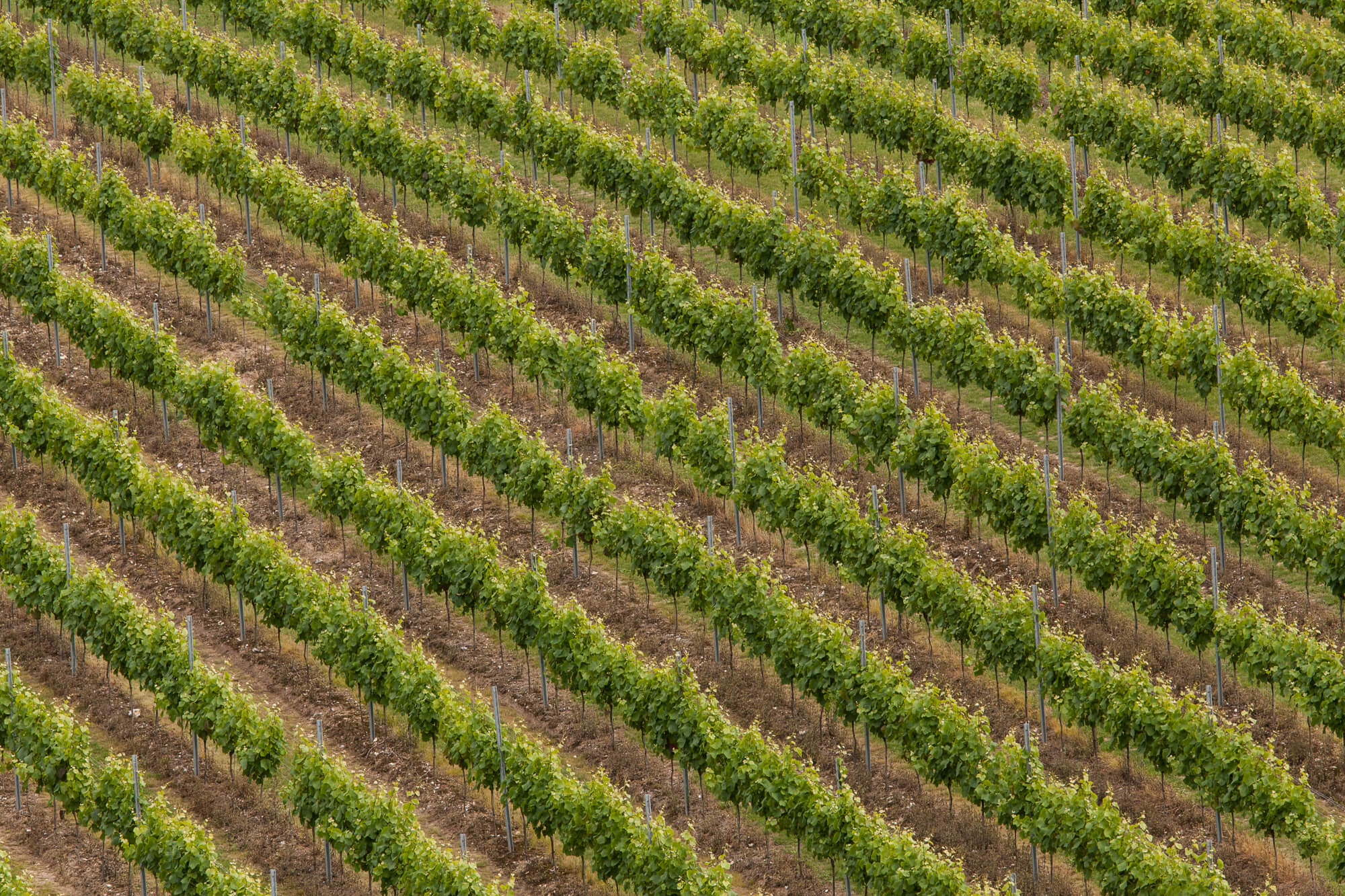 Aerial View of Vines