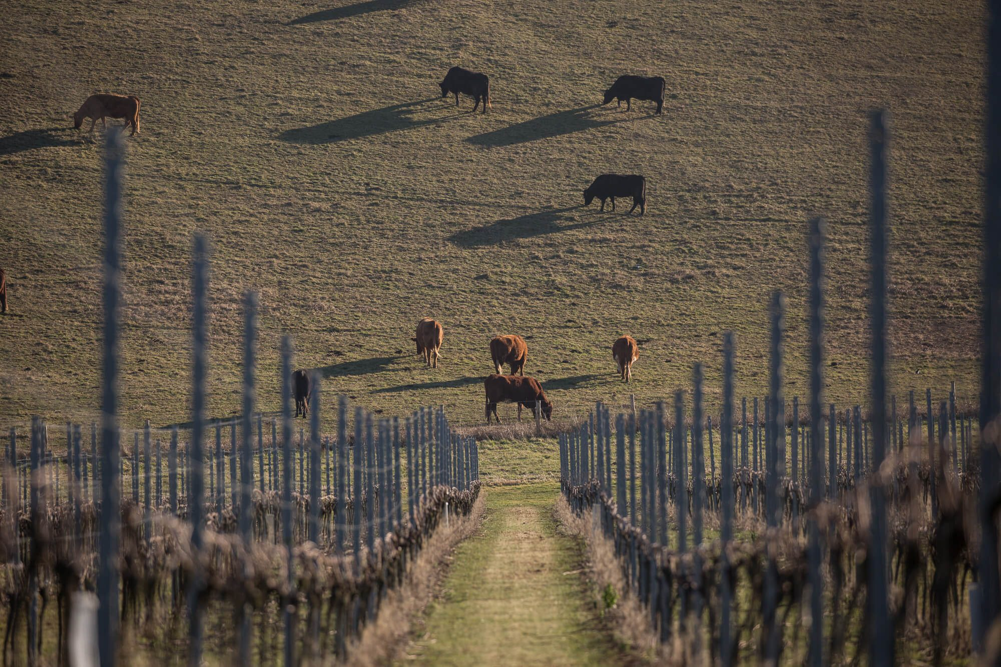 Cows on the Vineyard