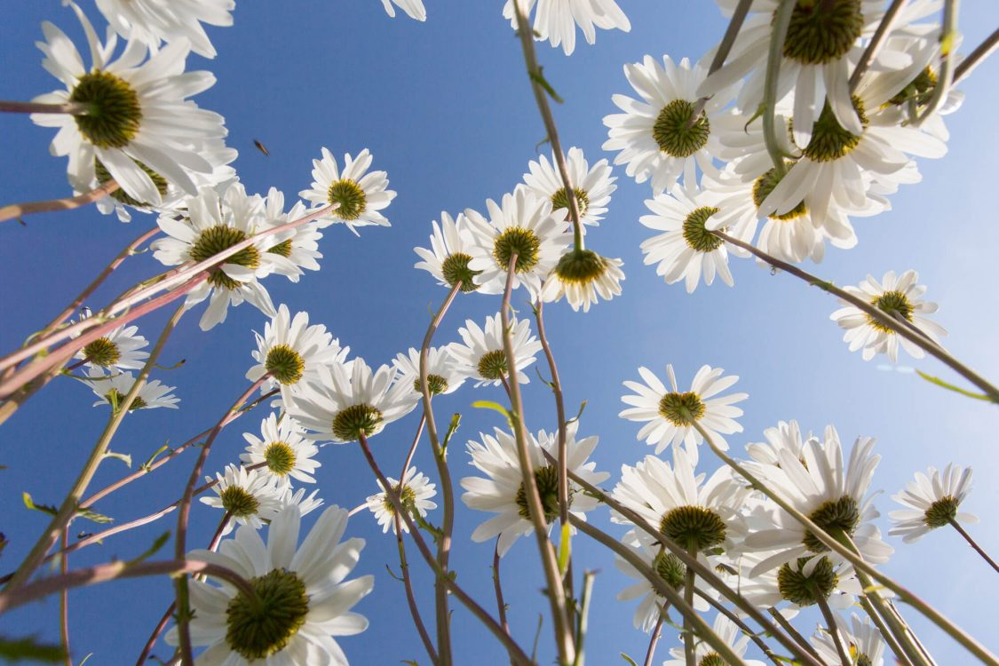 Daises Reaching Towards a Blue Sky