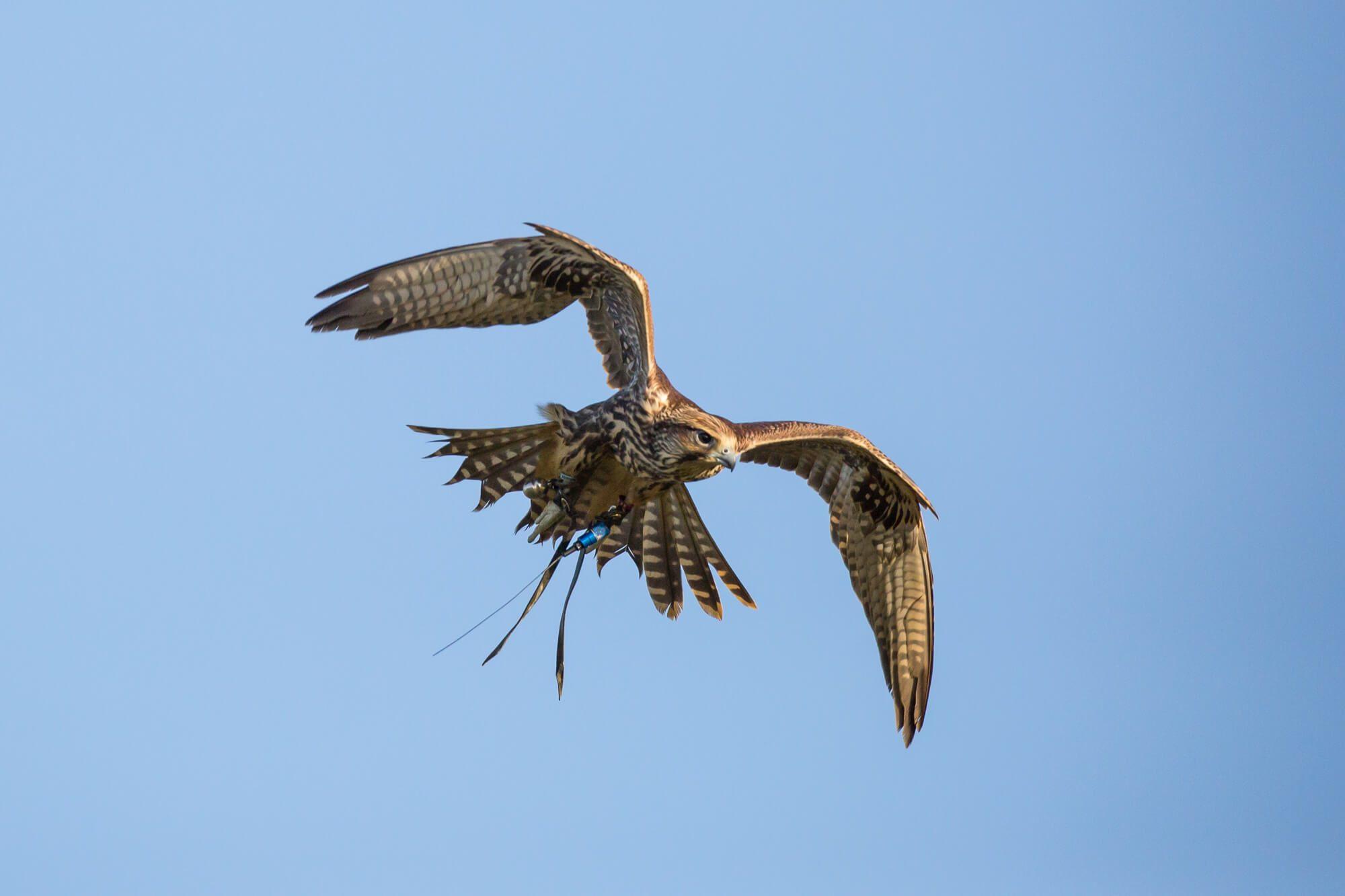 Flying Saker Falcon