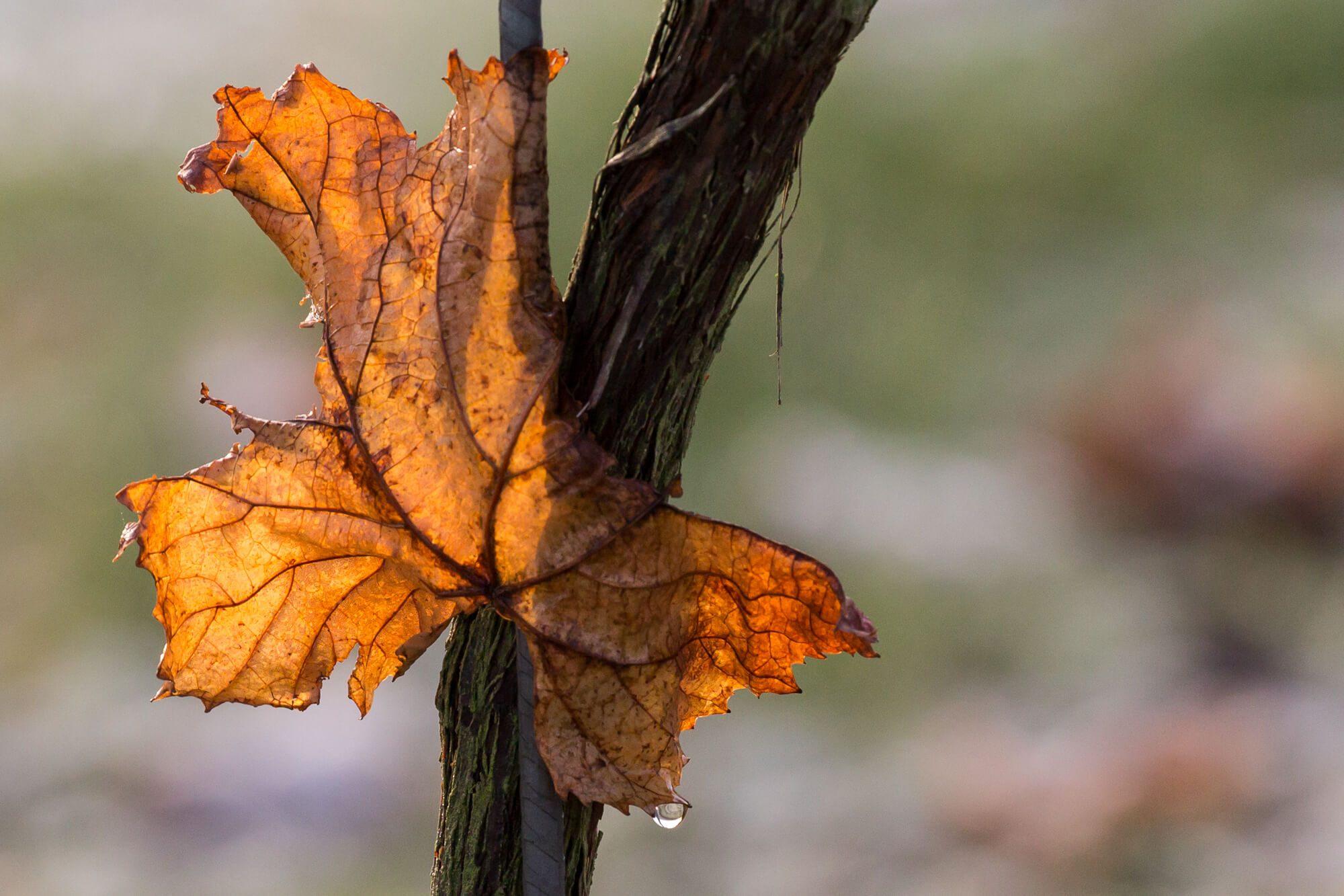 Leaf on a Vine