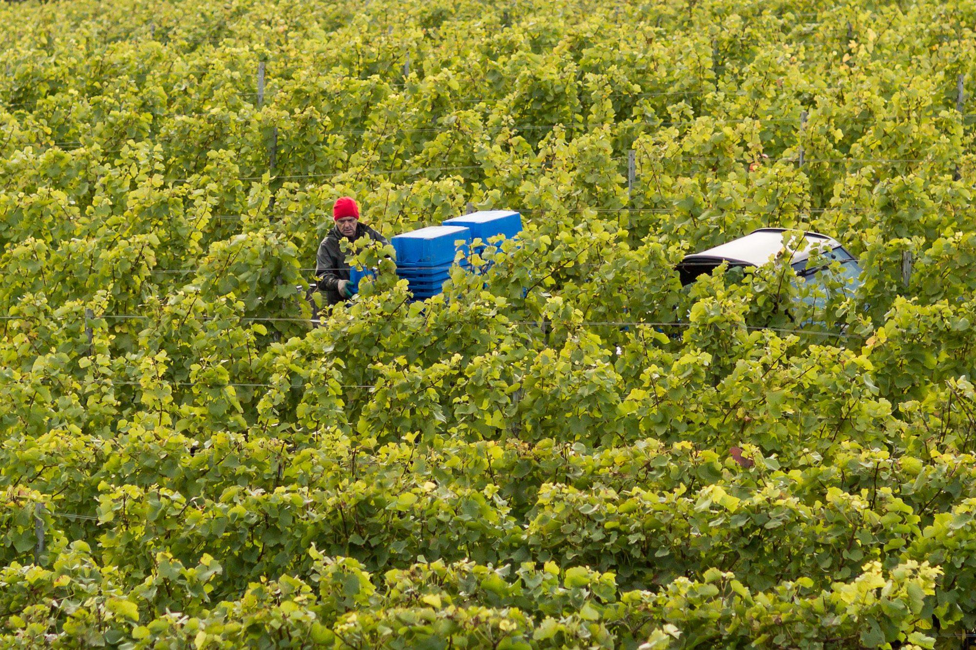 Man Among the Vines