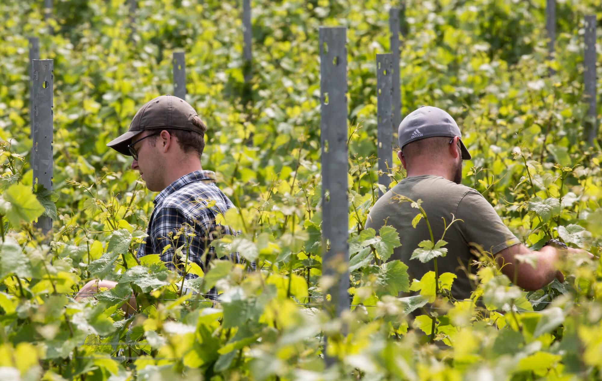 Men Working in Vineyard