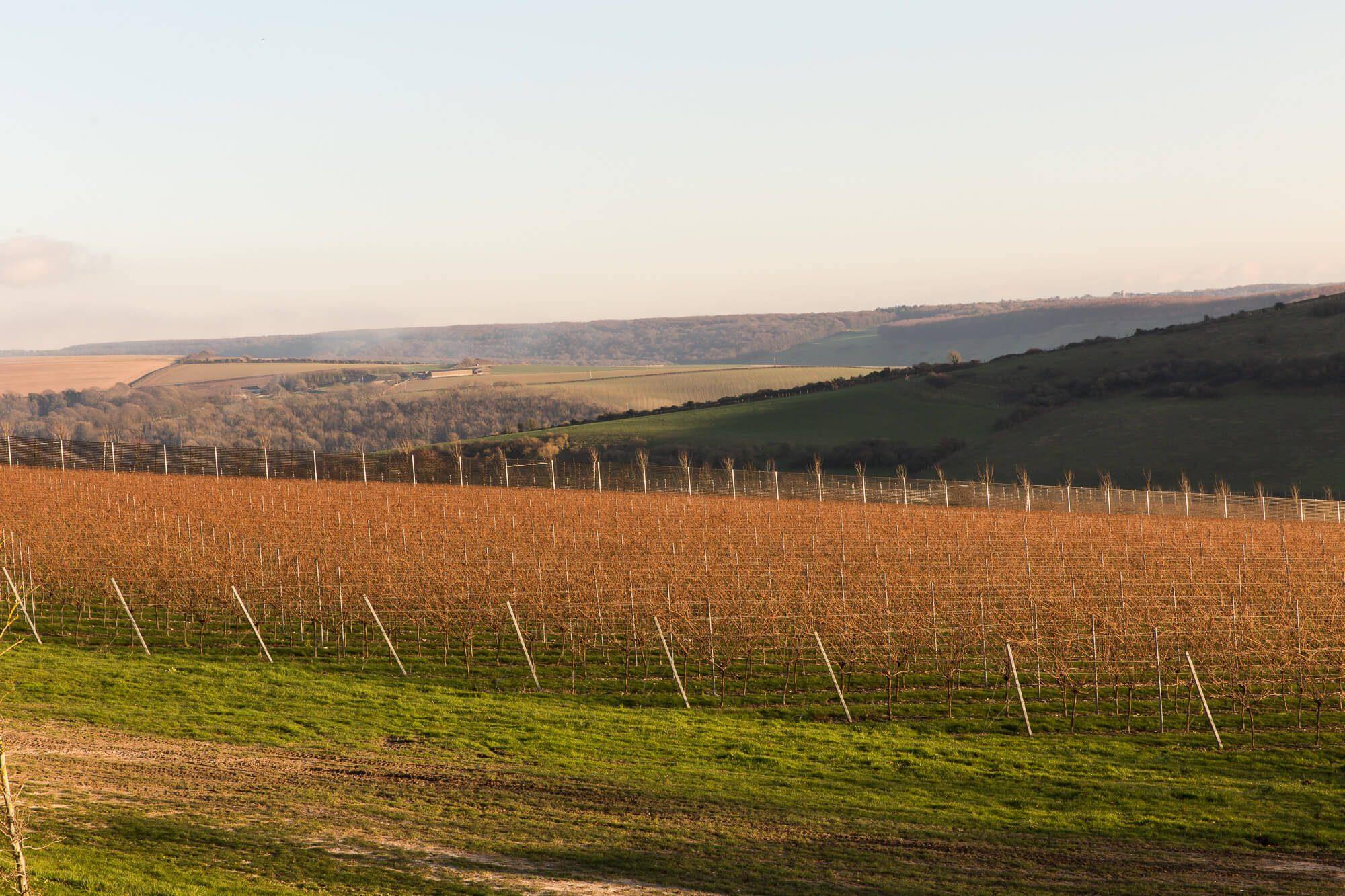 Morning Sun on the Vineyard