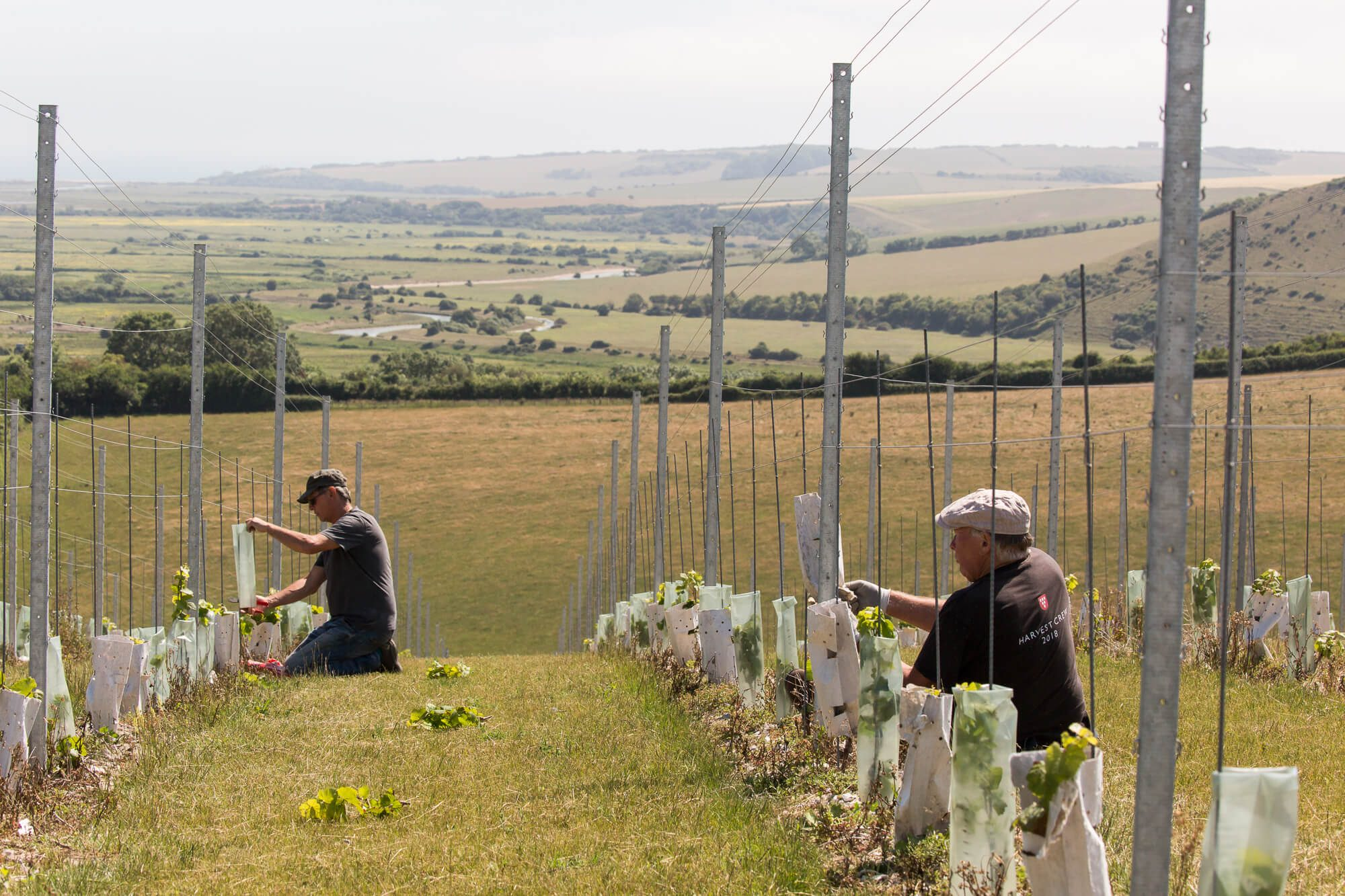 Vineyard crew tending new plantings
