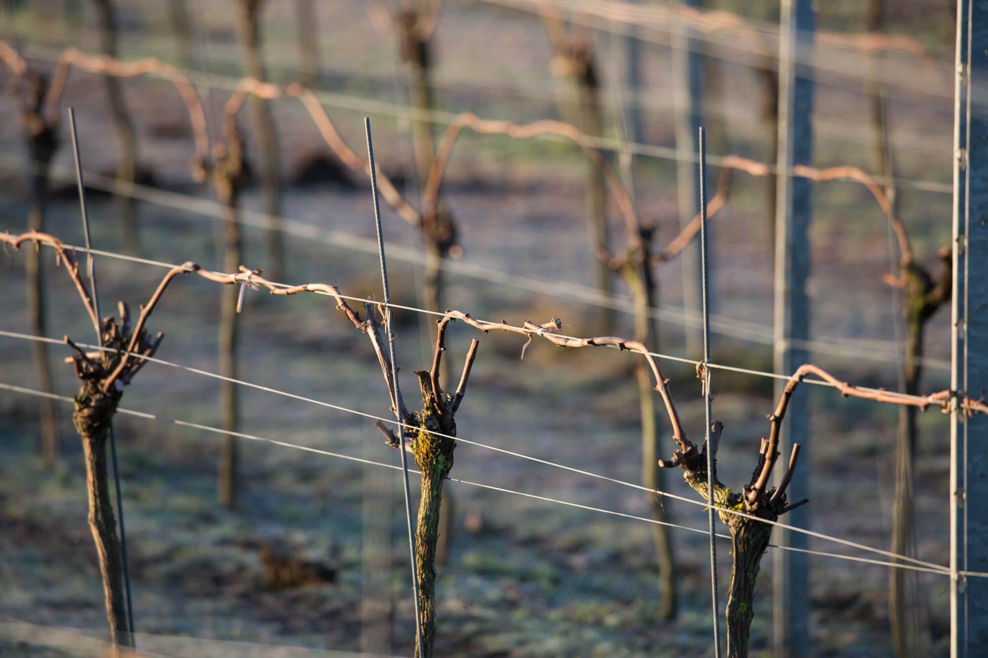 Pruned Vines