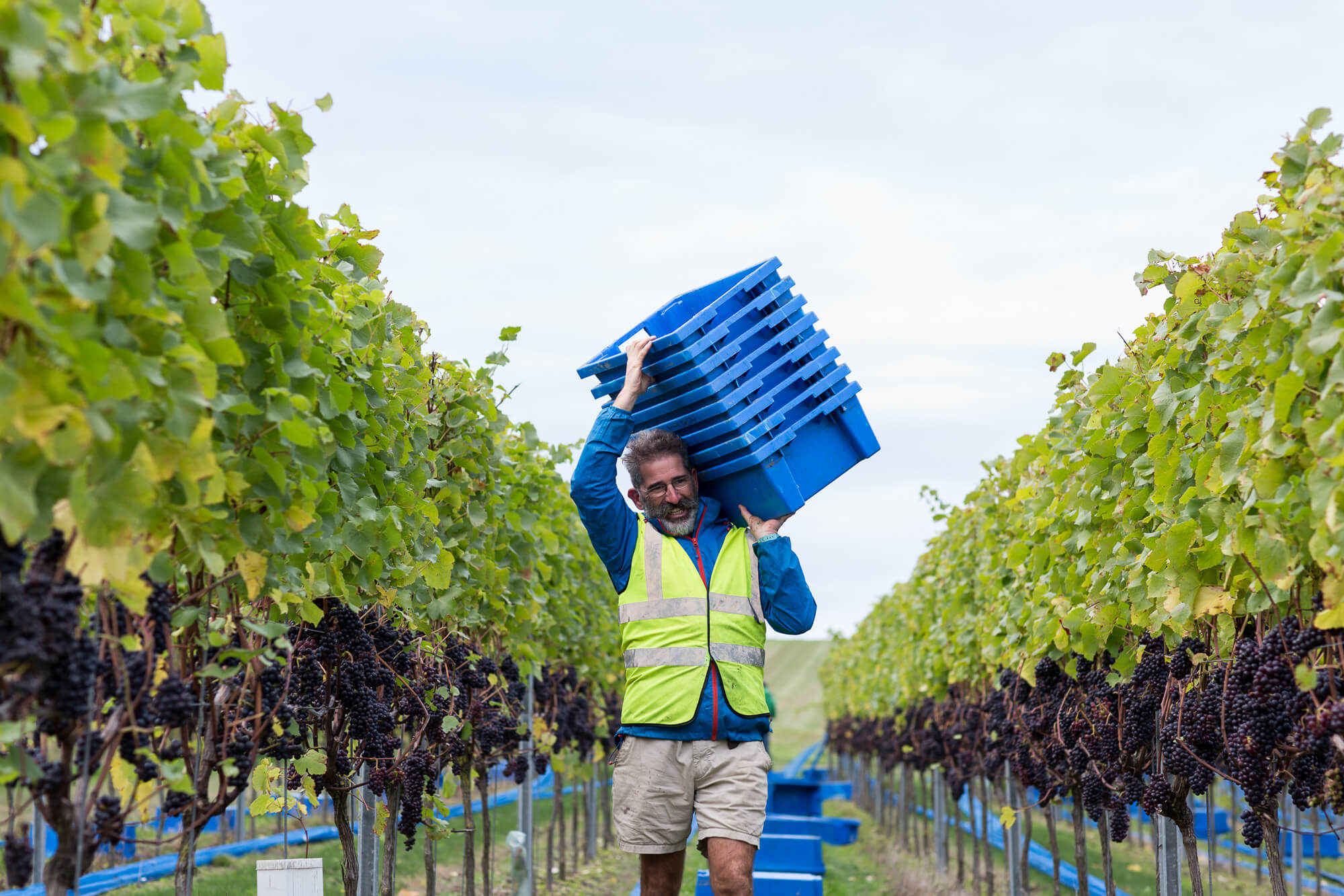Man carrying grape picking boxes
