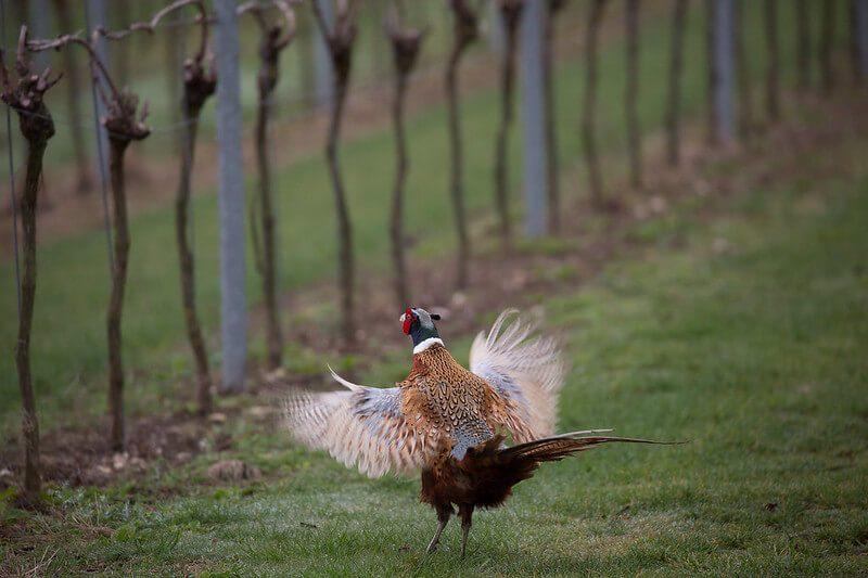 Partridge in the Vineyard