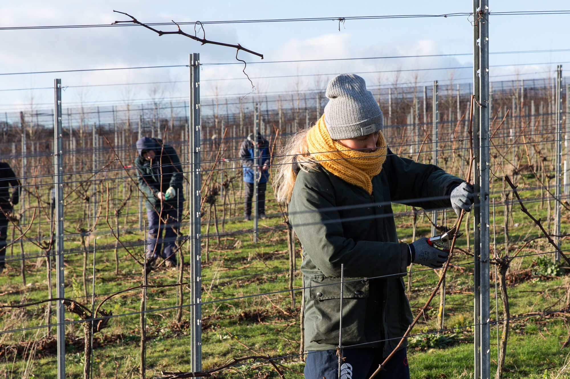 Vineyard crew pruning the vines