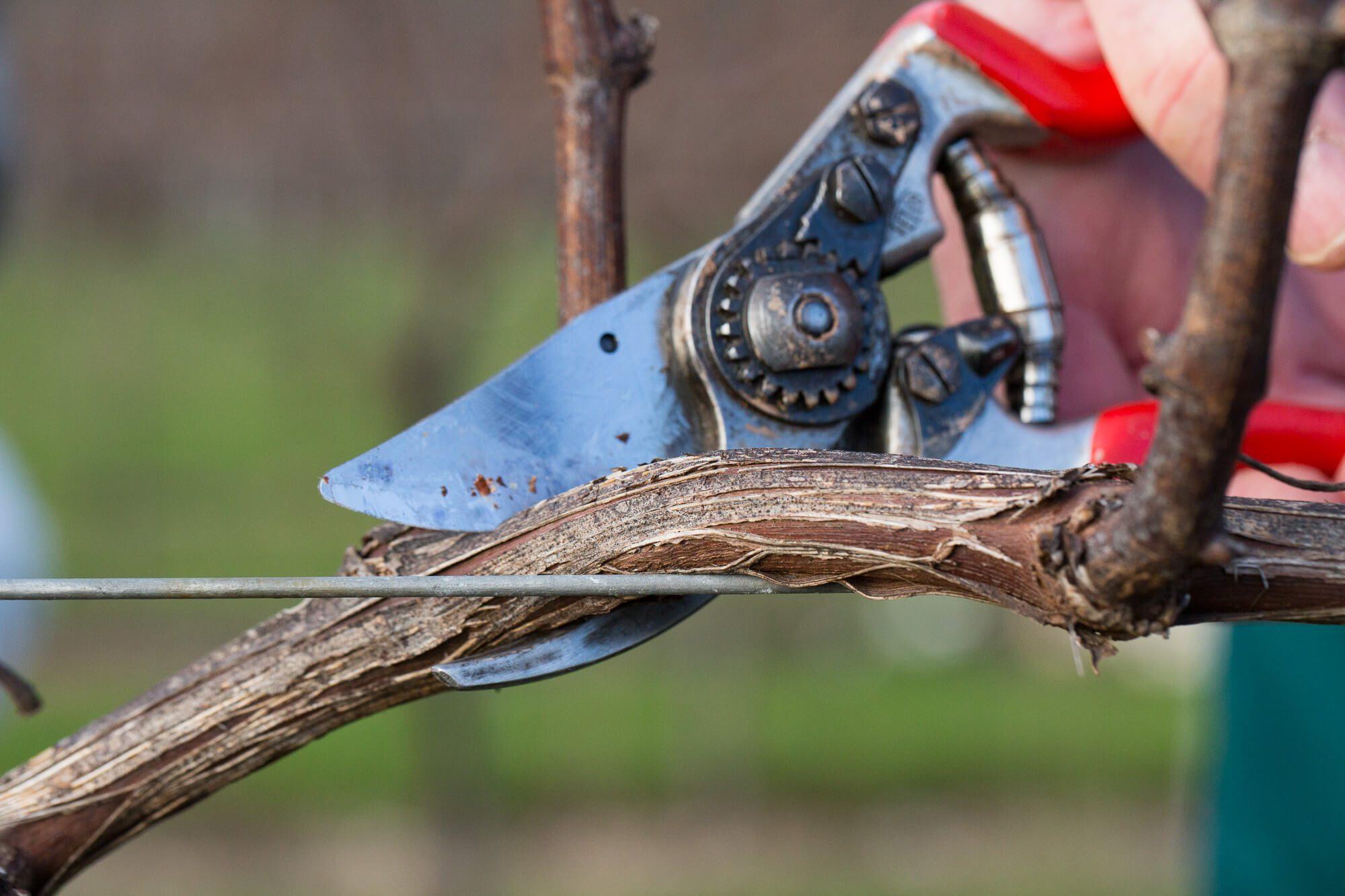 Pruning Close Up