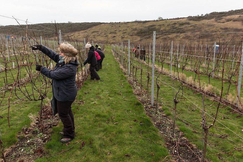 Vineyard Team Pruning