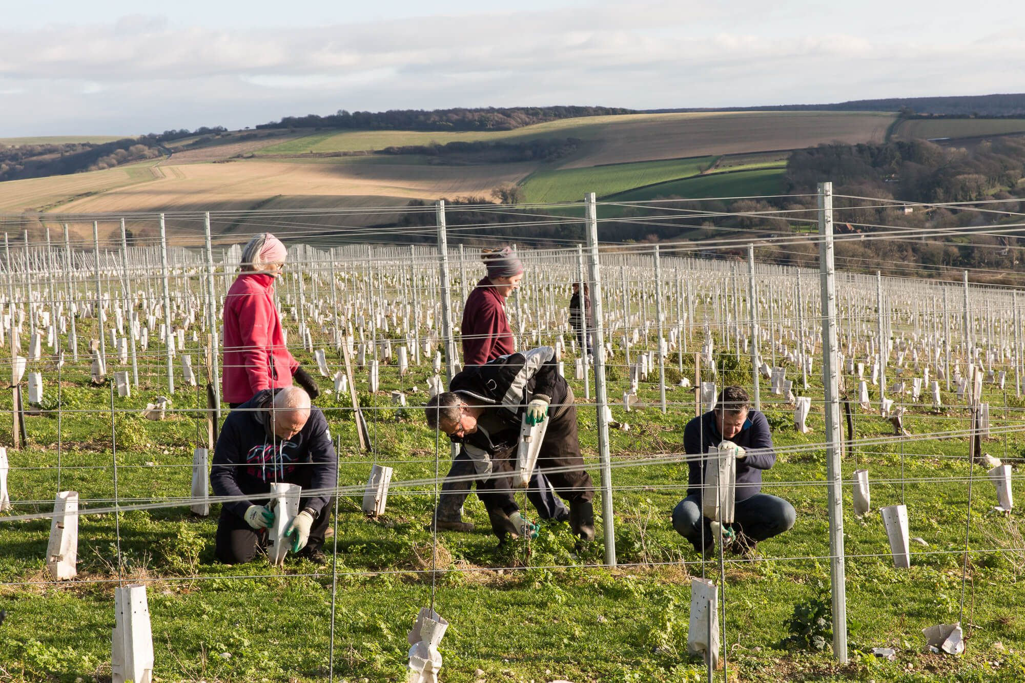 Pruning Young Vines