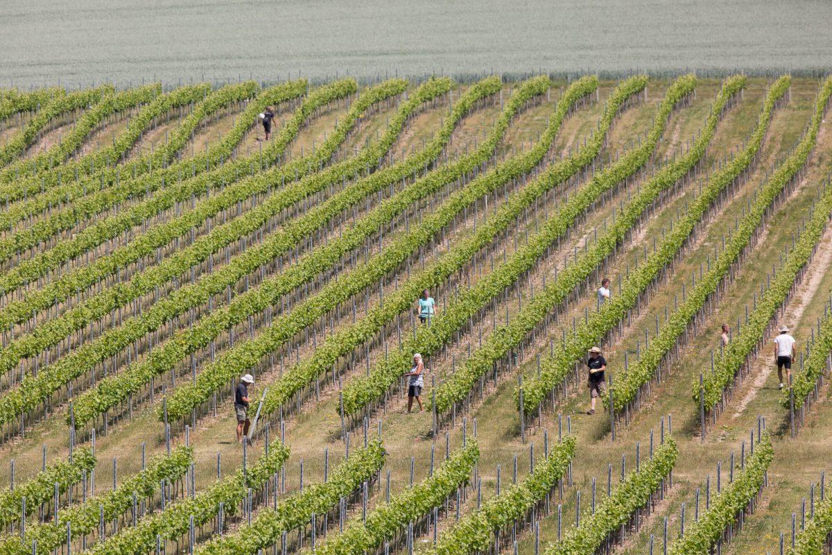 Social Distanced Vineyard Maintenance