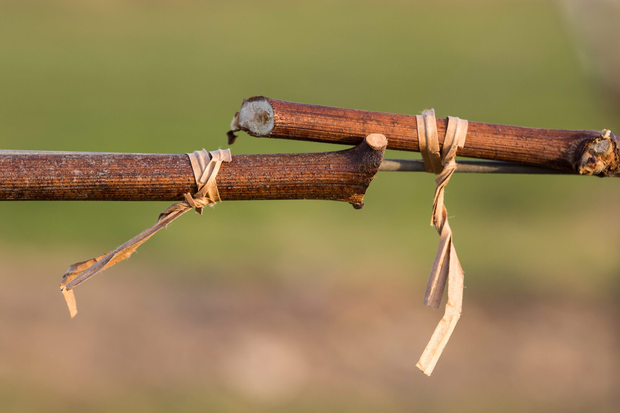 Cane Tied to Wire