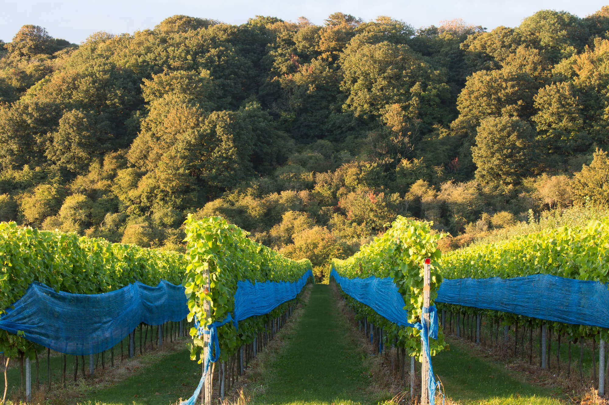Vines Covered in Netting