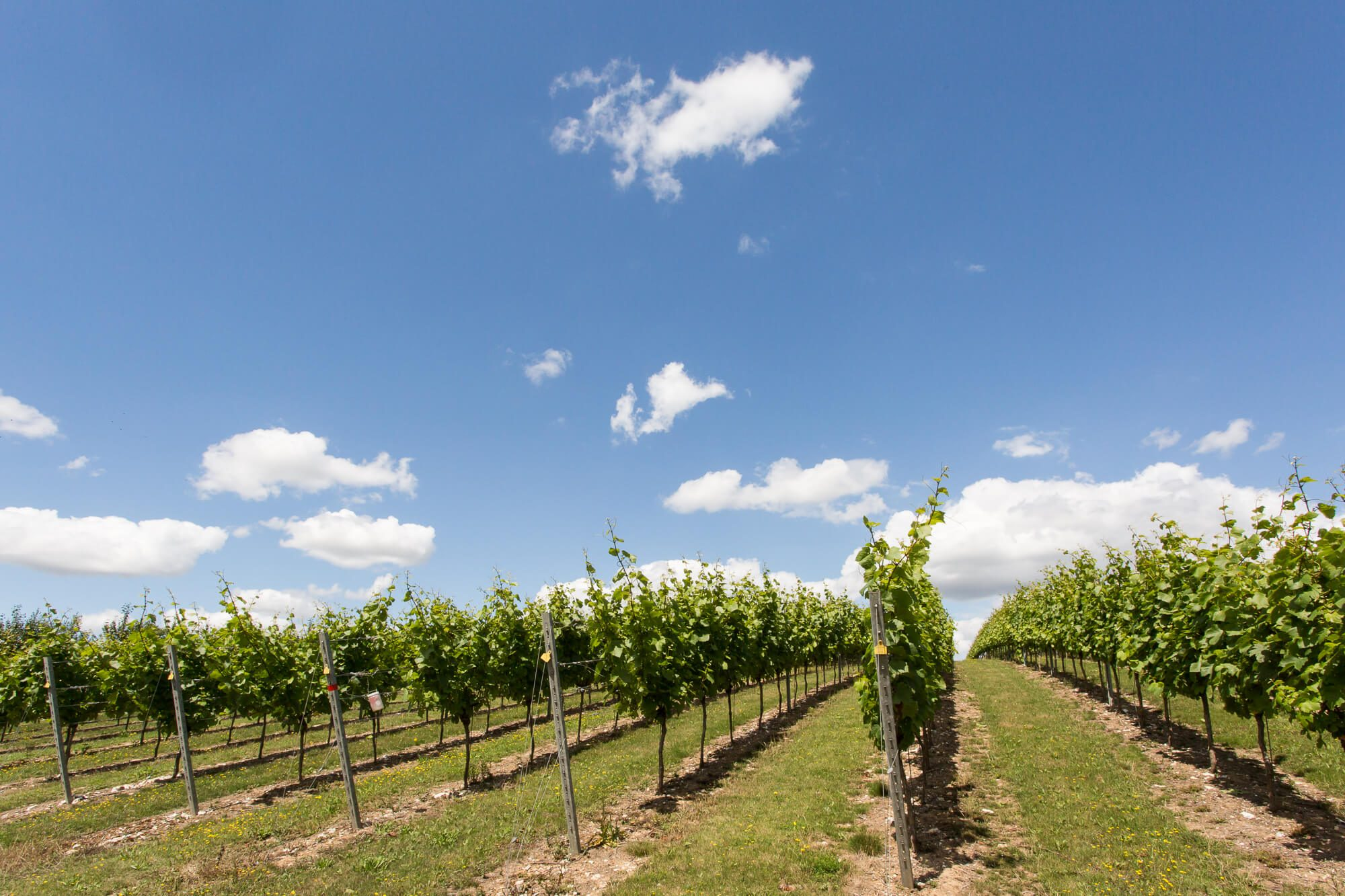 Vines and Blue Sky