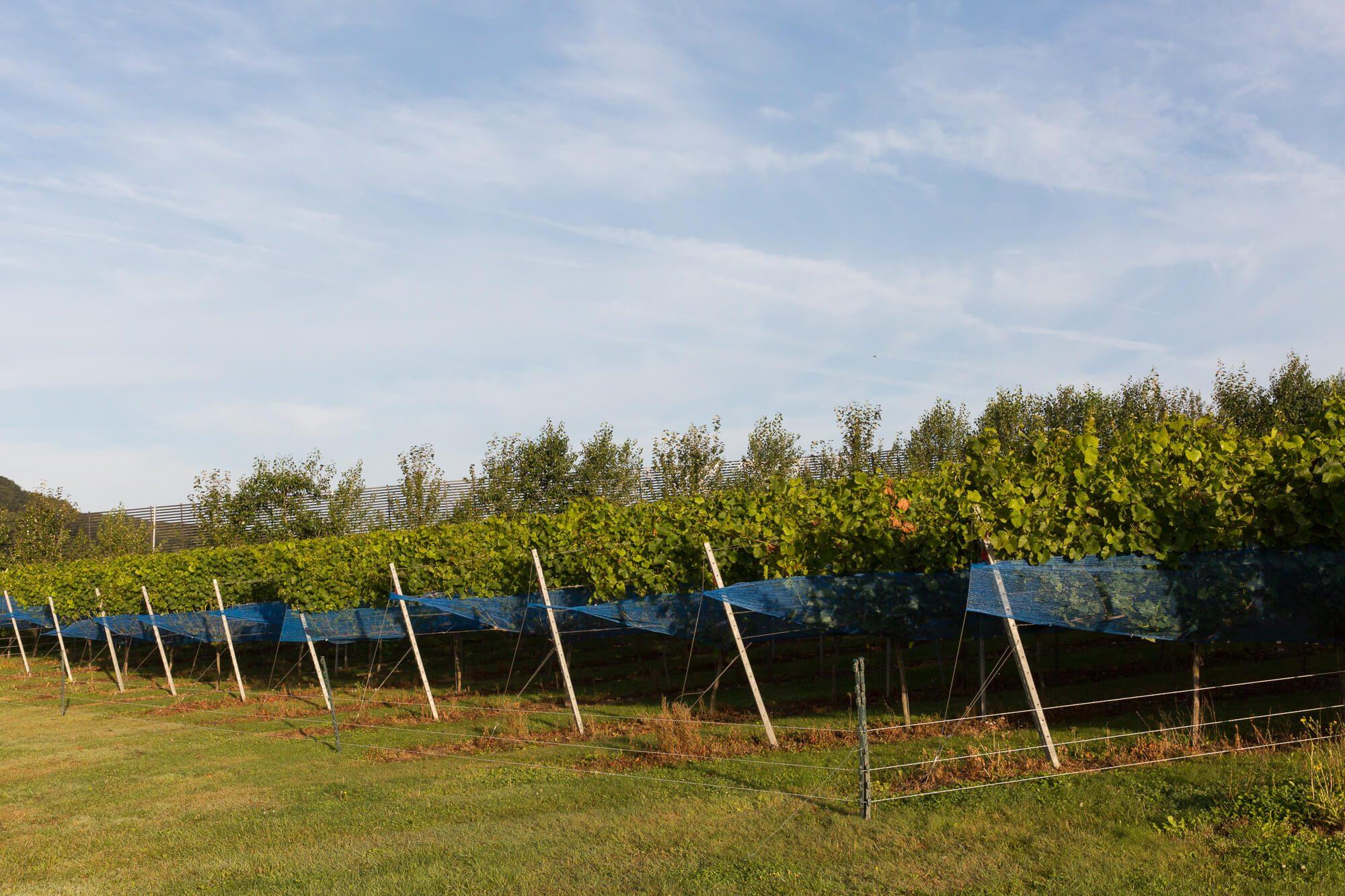 Vines in Netting