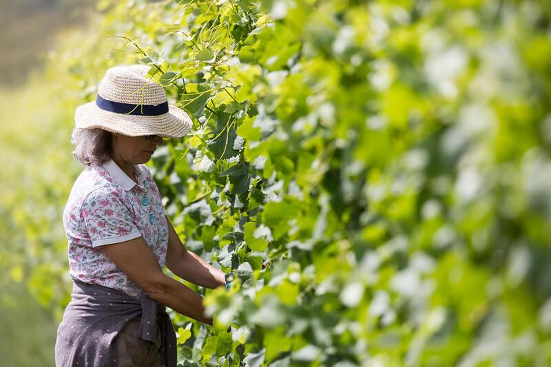 Vineyard Worker Removing Leaves