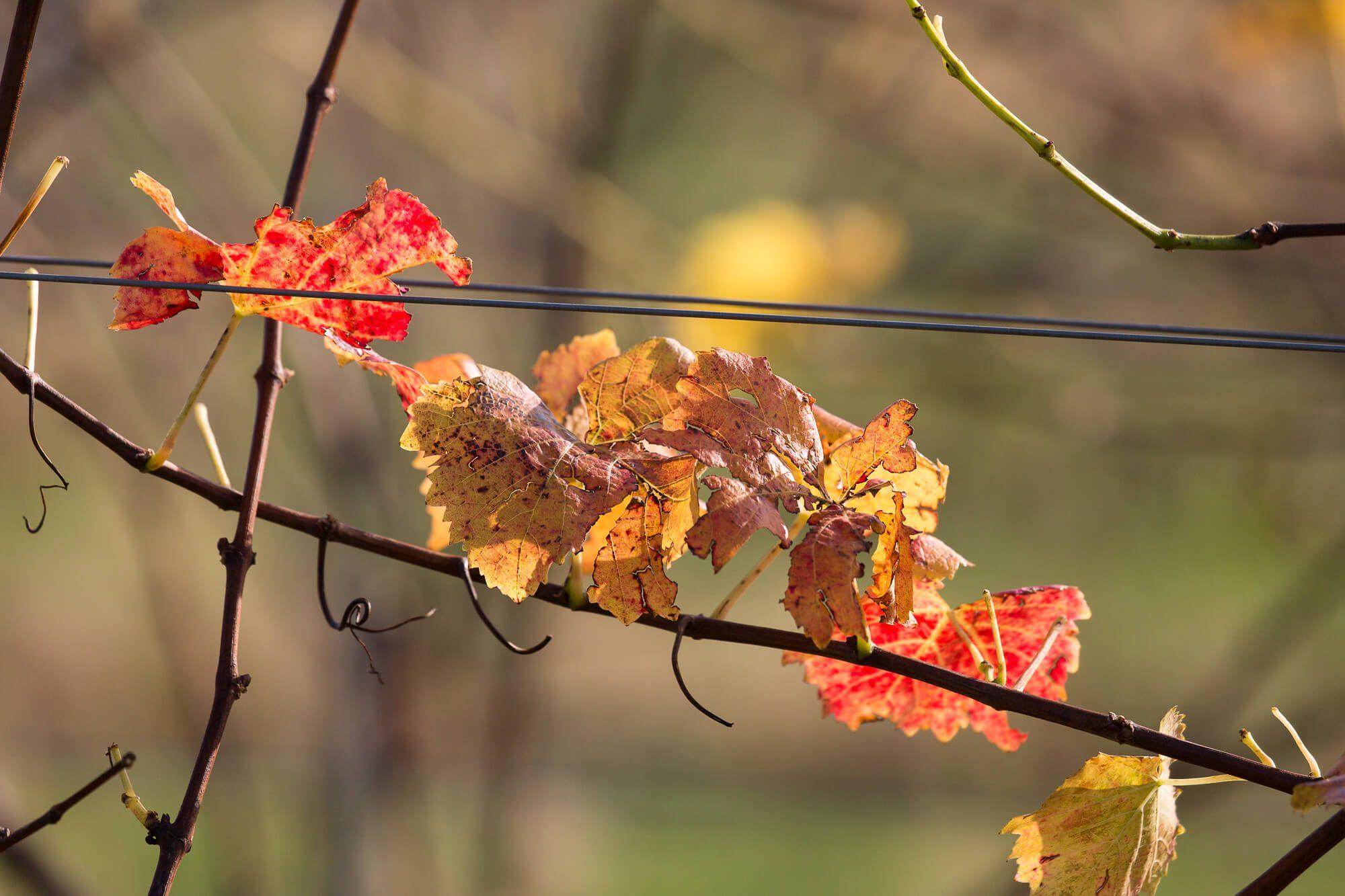 Autumn Leaves Rathfinny Vineyard