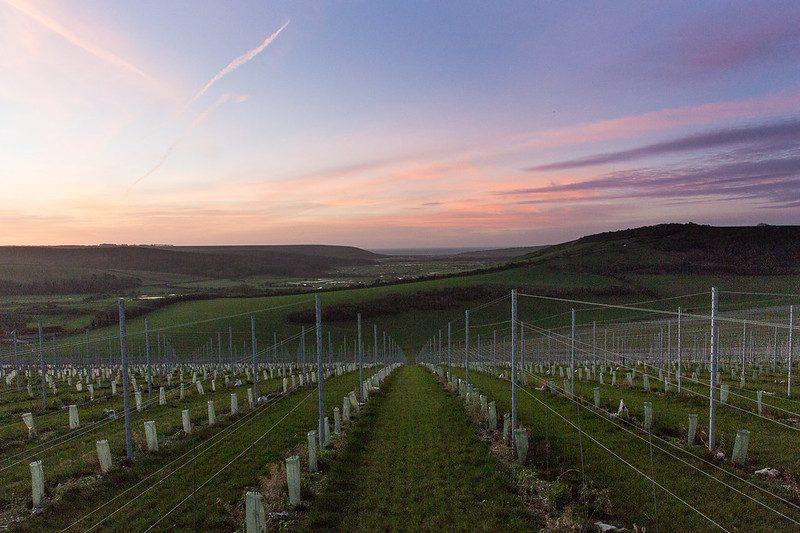 Morning sunrise on the vineyard