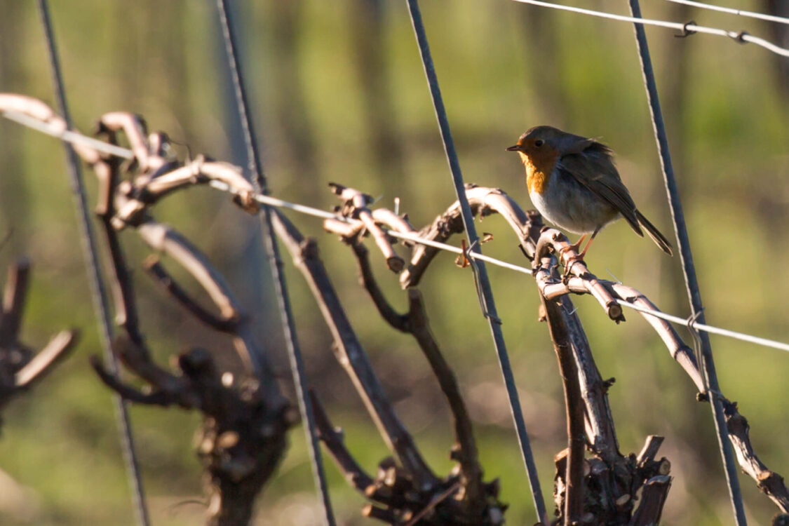Robin on the Vines