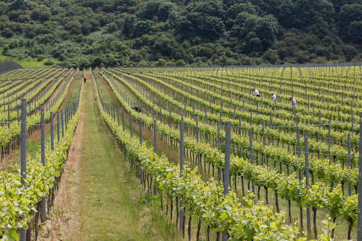 Rathfinny Vineyard Sussex