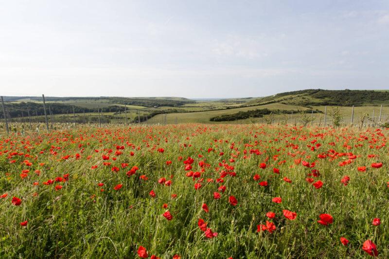 Poppies in the Vineyard